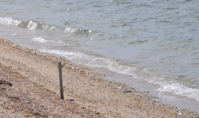 Fish lined the shore as far as the eye could see looking east at Nassau Point Sunday, but inspections of beaches in Peconic and Southold did not turn up bunker. (Credit: Grant Parpan)