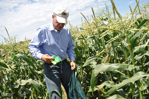 Ed Harbes picking super sweet corn at Harbes Family Farm in Mattituck in July 2013. (Credit: Rachel Young, file)