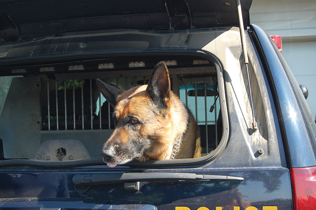 O'Neill, a German shepherd, hangs out in the back of a New York State Police truck. (Credit: Nicole Smith)